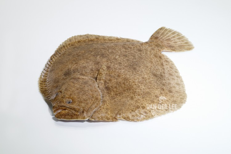 Turbot entier